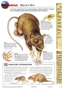 Brown rat579