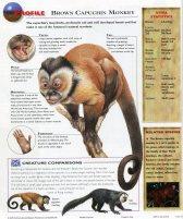 capuchin monkey036