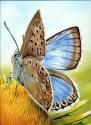 Chalkhill blue074 copy