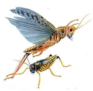 locust058