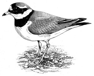 ringed plover002