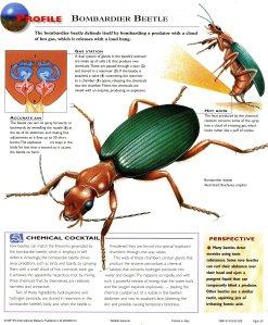 bombadier beetle 2530