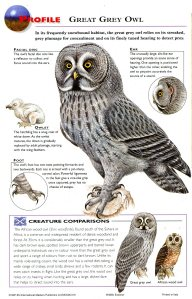 great grey owl 2064