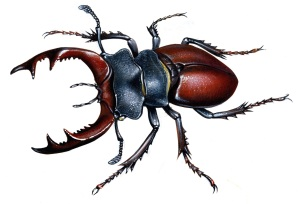 stag beetle433