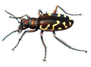 Tiger beetle 2436