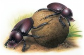 dung-beetle1