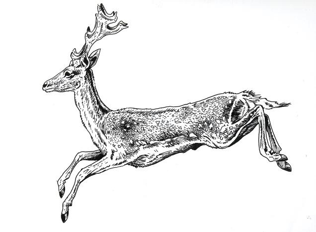 Fallow Deer jumping